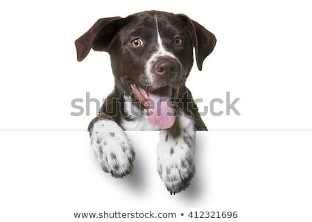 marrón · mixto · raza · perro · blanco · estudio - foto stock © vauvau