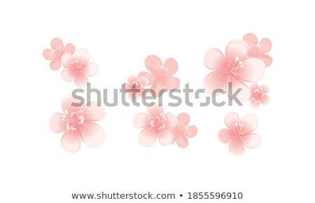 Sakura çiçekler yalıtılmış beyaz eps Stok fotoğraf © beholdereye