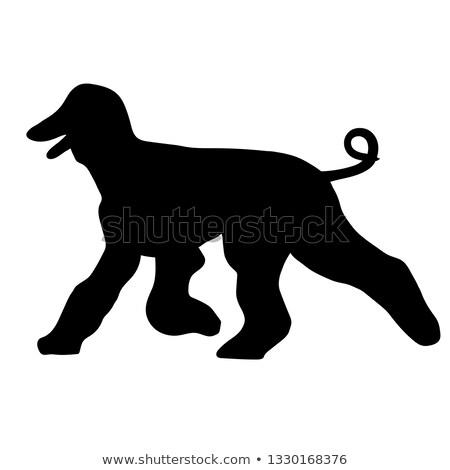 Afghan hound dog running Stock photo © raywoo