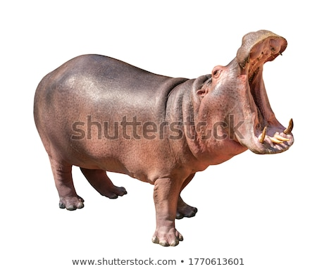 portrait of a brown hippopotamus stock photo © bazilfoto