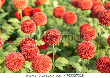 Red and White Chrysanthemum Stock photo © zhekos
