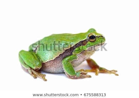 closeup of european common frog over white stock photo © taviphoto