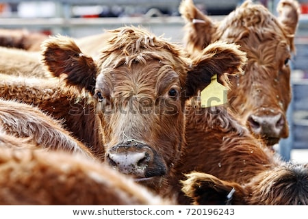 Red Angus Cattle During Feeding Time Stock photo © lincolnrogers
