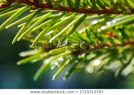 Gocce di pioggia evergreen pino aghi messa a fuoco selettiva natura Foto d'archivio © stevanovicigor