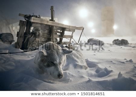 Team of sled dogs in a blizzard Stock photo © MikhailMishchenko