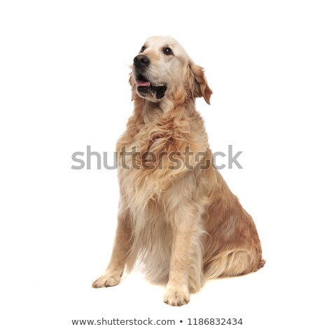 curious seated labrador looks to side while panting Stock photo © feedough