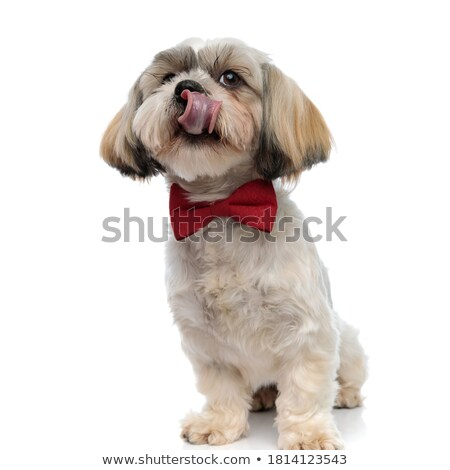 curious shih tzu with tongue exposed sits and looks up Stock photo © feedough