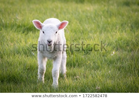 white lamb walking on spring green meadow Stock photo © taviphoto
