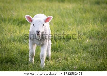 Cute · ягненка · весны · Нидерланды · небе · ребенка - Сток-фото © taviphoto