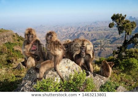 Stock photo: endemic Gelada in Simien mountain, Etiopia