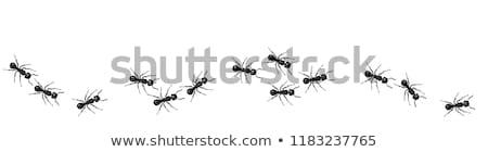 ストックフォト: ベクトル · アリ · 表示 · 孤立した · 白