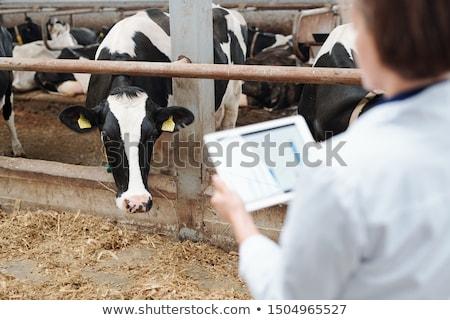 Une produits laitiers vaches regarder travailleur sur Photo stock © pressmaster