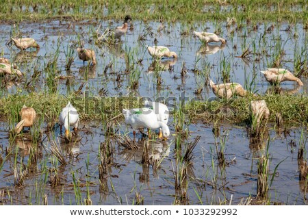 Ducks on a rice field, rural landscape, Bali Island, Indonesia Stock photo © galitskaya