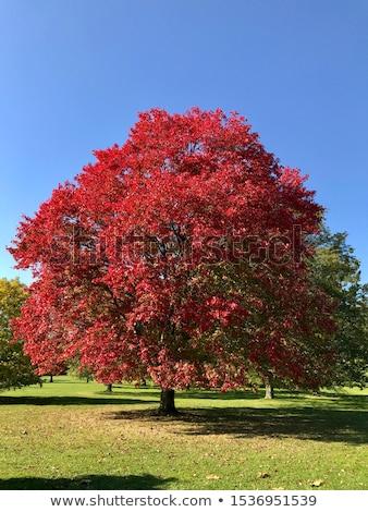 Herfstkleuren laat namiddag najaar zon esdoorn Stockfoto © jsnover