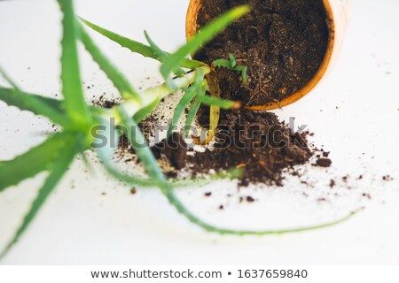 jardinero · jóvenes · aloe · plantas · jardín · primavera - foto stock © juniart