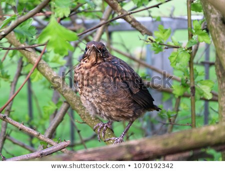 Genç İngilizler şarkı pamukçuk kuş Stok fotoğraf © latent