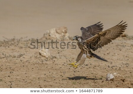 Lanner Falcon Stock photo © scooperdigital