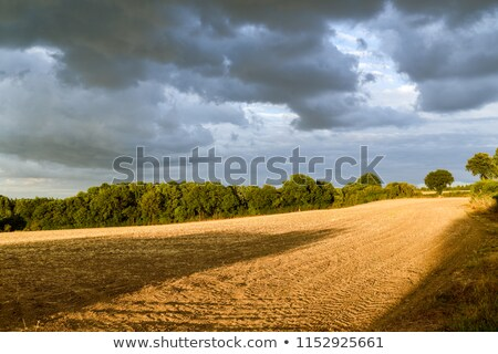 Blue skies over corn fields in England Stock photo © backyardproductions
