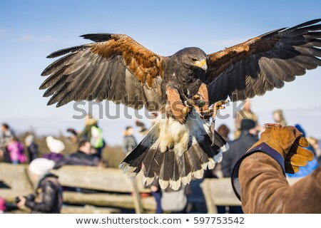 Harris Hawk on gauntlet Stock photo © david010167
