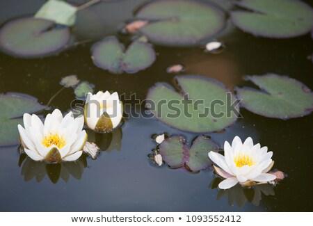 víz · liliom · természetes · virágok · absztrakt · fény - stock fotó © haraldmuc