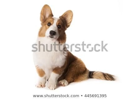 Stockfoto: Cardigan · geïsoleerd · witte · huisdier · witte · achtergrond · bruin