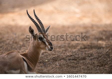 アフリカ ガゼル アフリカ 南西 することができます に達する ストックフォト © danielbarquero