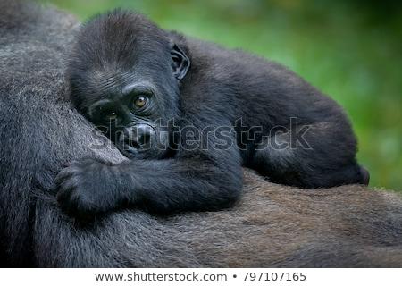 Baby goryl kobiet posiedzenia konkretnych zwierząt Zdjęcia stock © chris2766