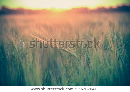 ears of ripe wheat on a background a sun in the evening stock photo © mycola
