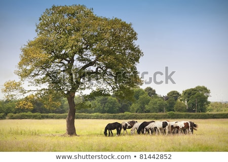 horses on a meadow under a tree stock photo © meinzahn