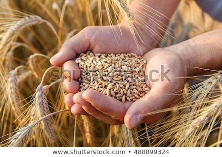 куча зерна пшеницы области природы пшеницы завода Сток-фото © mycola