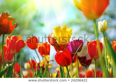 Mooie lentebloemen tulpen gras blad zomer Stockfoto © EwaStudio