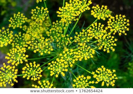 dill flowers  Stock photo © jonnysek