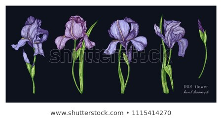 Iris jardín flores casa primavera Foto stock © jarin13