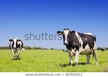 fekete · tehén · közelkép · farm · mezőgazdasági · ipar - stock fotó © compuinfoto