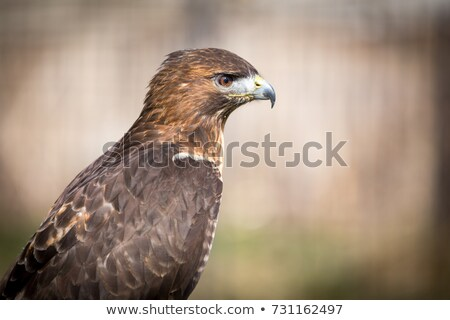 a magnificent hawk with yellow feet Stock photo © chrisga