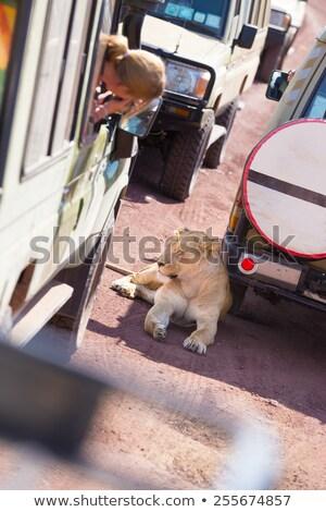 Сток-фото: Touris Photographing Wild Lioness