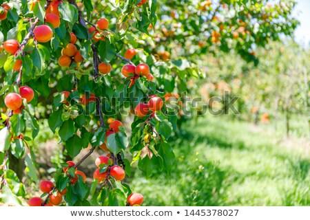 sárgabarack · fa · gyümölcsök · növekvő · kert · természet - stock fotó © peredniankina