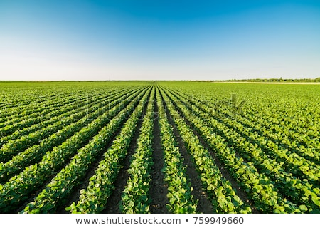 Soybean crops in field Stock photo © stevanovicigor