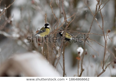 Titmouse sitting on branch Stock photo © jaffarali