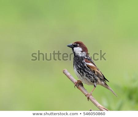 Espanhol pardal viajar tropical animal belo Foto stock © chris2766
