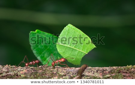 Leaf cutter ants Stock photo © chris2766