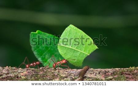 Folha formigas azul sujeira estúdio Foto stock © chris2766