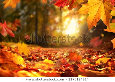 Zdjęcia stock: Czerwony · pozostawia · słońce · świetle