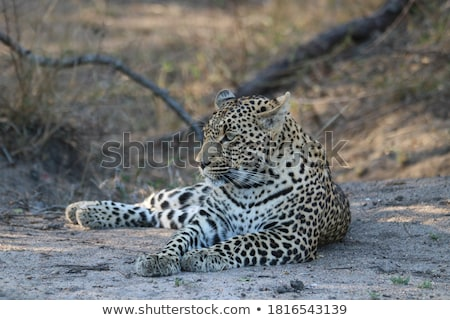 Leopard laying in the grass in the Sabi Sands. Stock photo © simoneeman