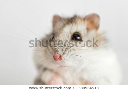Wenig Hamster glückliches Gesicht Illustration Design Maus Stock foto © bluering