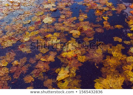 wet autumn leaves on the ground as background stock photo © stevanovicigor