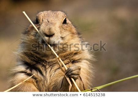 préri · kutya · közelkép · aranyos · természet · kosz - stock fotó © pictureguy