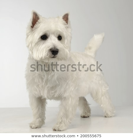 West Highland White Terrier staying on the white studio floor stock photo © vauvau