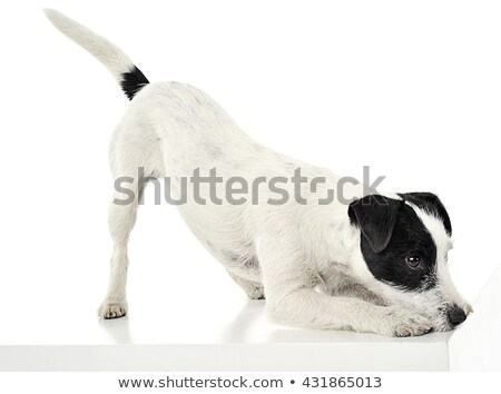 Parson Russell Terrier call to play  in the white photo studio Stock photo © vauvau
