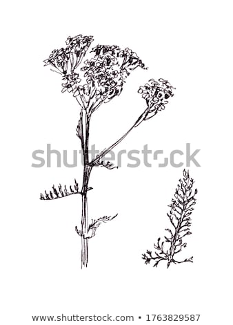 Milfoil Stock photo © Kidza